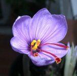 flor del azafrán